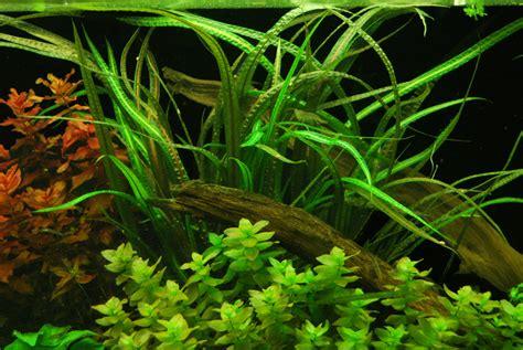 cryptocoryne balansae freshwater live aquarium plant aquarium plants for sale