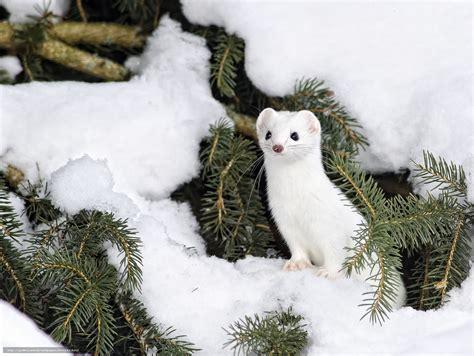hermine bureau tlcharger fond d 39 ecran hermine neige hiver aiguilles