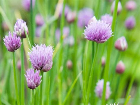 easy growing perennials chives chives allium schoenoprasum are popular easy to grow perennial herbs that make
