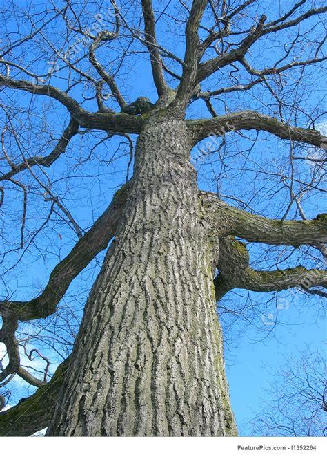 plants  oak tree winter stock image