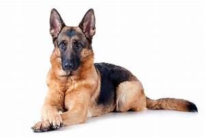 Conoce Al Perro Pastor Alemán. 5 Claves Que No Sabias De Ellos