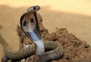 Snakes: Egyptian Cobra