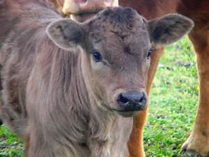 Landywood Cattle Ranch  Limousin Baby Calves
