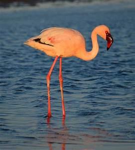 Birding hotspots in Namibia: Walvis Bay/Swakopmund ...  Lesser