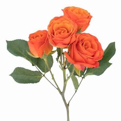 Roses Spray Orange Rose Stem Flowers Magnaflor