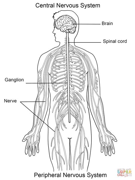 The central nervous system (cns) is the part of the nervous system consisting primarily of the brain and spinal cord. Pin on CC cycle 3: science