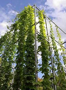 Hopfen Im Kübel Pflanzen : bierhopfen hopfen humulus lupulus infos f r begr nunsprojekte ~ Markanthonyermac.com Haus und Dekorationen