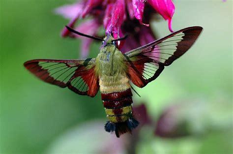 hummingbird moth nature politics and shit