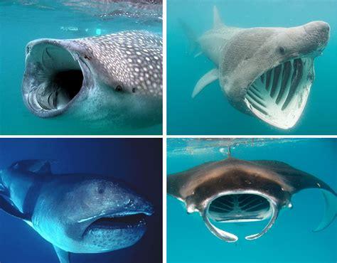 giant plankton feeding sharks   giant plankton feeding sharks deep sea news