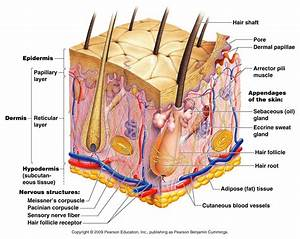 Skin Structure Diagram Labelled Diagram Skin Structure