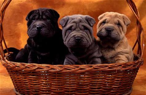 shar pei puppies hd wallpapers