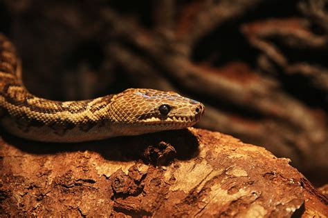 Snakes hunt in packs, study finds - CBS News