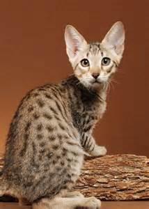 f5 cat f6 sbt izzy dreamweavercatz agato savannahs agato