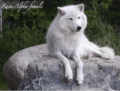 Wolf Eyes Husky Arktischer Pup Siberian