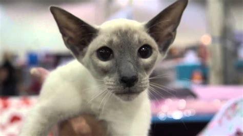 Cat Breed Spotlight Siamese Cats Youtube