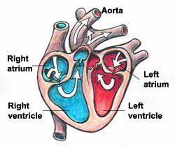 Names And Functions Of The Heart