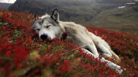 And Wolf Wallpaper Hd by Wolf Wallpapers Hd A34 Hd Desktop Wallpapers 4k Hd