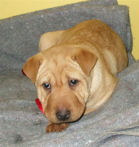 lab pei shar pei  lab mix temperament training