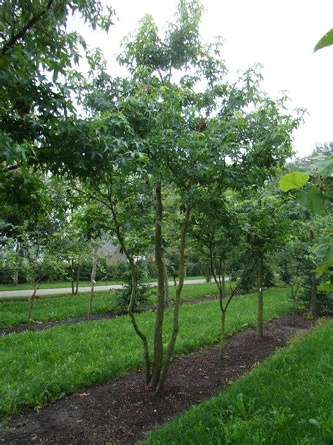 amberboom kopen amberboom meerstammig liquidambar styraciflua kopen