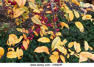 Glanzmispel Rote Blätter Fallen Ab : herbst rote beeren wie frucht am baum links nachdem die ~ Lizthompson.info Haus und Dekorationen