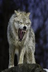 83 best images about Lesvoorbeeld Hond Wolf on Pinterest