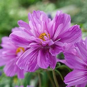 Keimzeit Saatgut De : schmuckk rbchen 39 fizzy dark pink 39 ~ Lizthompson.info Haus und Dekorationen