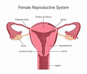 Anatomy Female Reproductive System  Cutaway  Stock