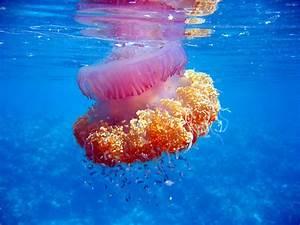 The Wonderful World of Jellyfish! | Maldives Whale Shark ...  Jellyfish