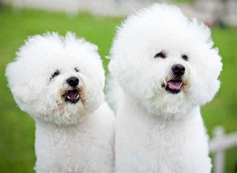 choisir la race de son chien le bichon frise pratiquefr