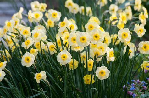 daffodil bulbs item  sun disc  sale
