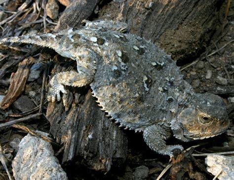 anegada ground iguana life expectancy