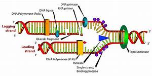 Models Of Dna Replication  Notes With Definition  U0026 Diagram