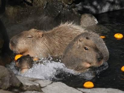 Meat Rodent Teen Capybara Starving Population Venezuela