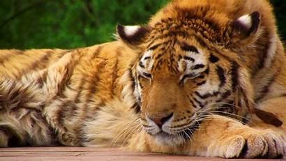 Tiger Sleeping Bengal Desktop Animals Wallpapers Akhil