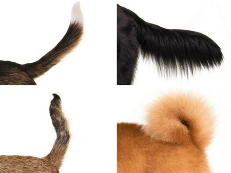 Can You Identify The Dog Breed By Its Tail
