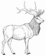 Elk Coloring Bull Pages Printable Mountain Rocky Moose Deer Hunting Animals Head Clipart Animal Sketch Getcoloringpages Template Library Popular sketch template