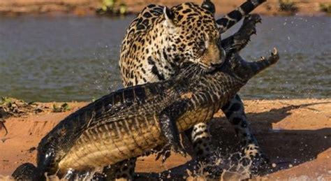 jaguar  crocodile sick chirpse