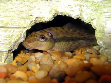 chinese algae eater fish  pictures fish pictures