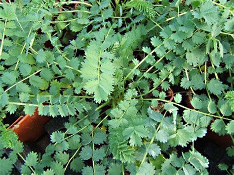 pimprenelle en pot plantes vivaces aromatiques