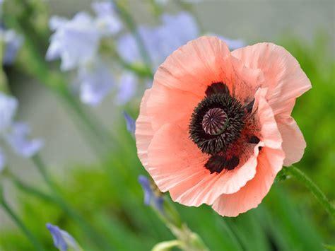 poppy varieties pictures best oriental poppy varieties saga