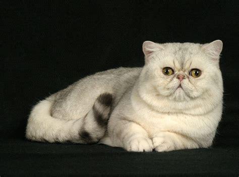 Shorthair Cat - animal photo shorthair cats