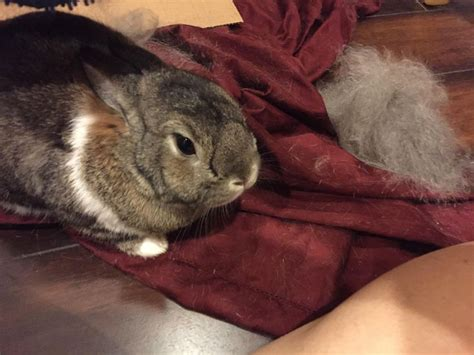 my rabbit is shedding 25 best images about rabbit shed on cages for