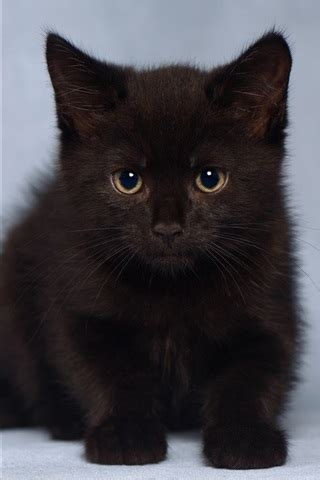 wallpaper cute furry black kitten  hd picture image