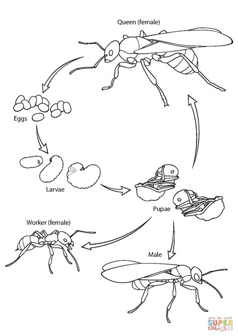 ant life cycle coloring page  printable coloring pages