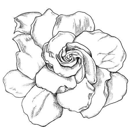 Gardenia Drawing by Gardenia Drawing Live Creatively Project 365