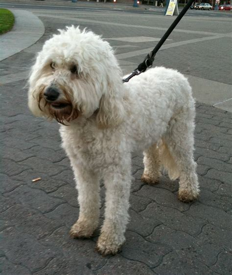 Dog Of The Day Fiona The Goldendoodle The Dogs Of San