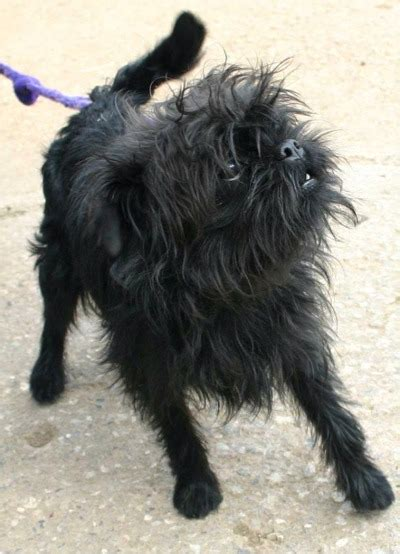 affenpinscher puppies breeders affenpinschers
