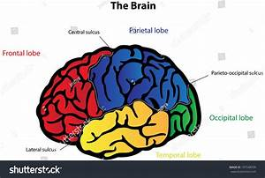 Brain Anatomy Labeled Diagram Stock Illustration 197548709