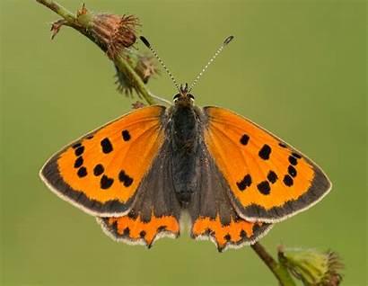 Butterfly Copper Identify Conservation Butterflies Gloucestershire Prestbury