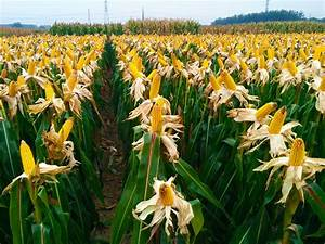 Drought Tolerant Maize for Africa Seed Scaling » CIMMYT ...